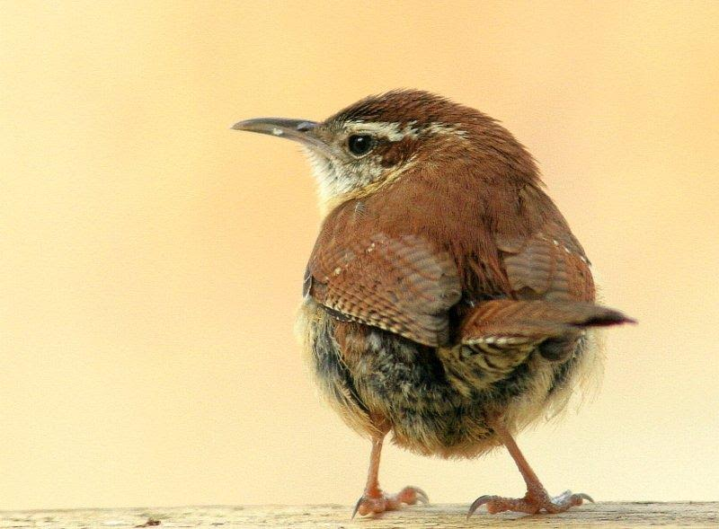 Carolina Wren <br />Credit: Bill Leaning