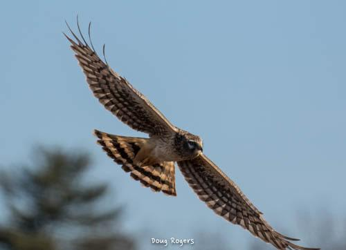 Red-shouldered Hawk<br/>Credit: Doug Rogers