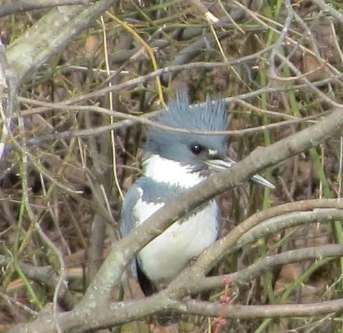 Belted Kingfisher <br/>Credit: Janet Paisley