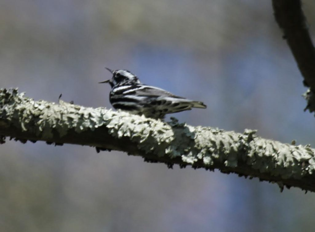 Black-and-white Warbler <br/>Credit: Doug Rogers