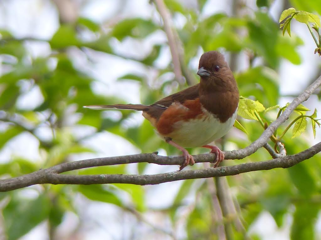 Eastern Towhee <br/>Credit: Nancy Newman