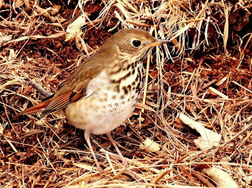 Hermit Thrush <br/>Credit: Bill Leaning