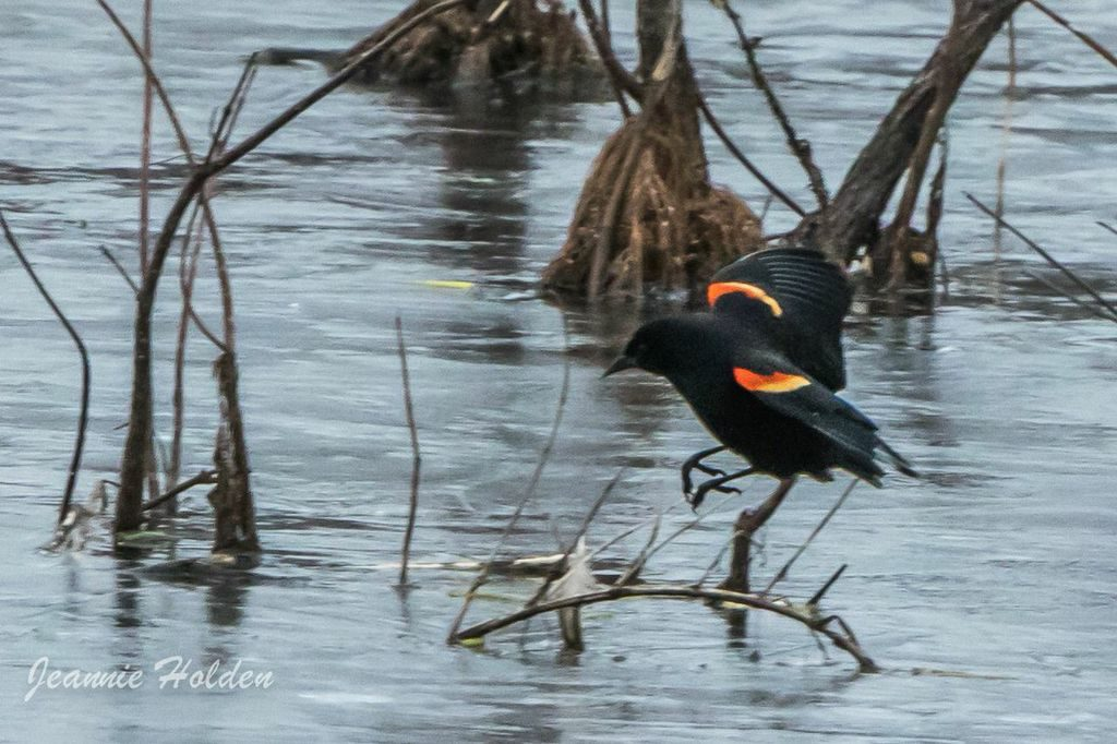 Red-winged Blackbird <br/>Credit: Jeannie Holden