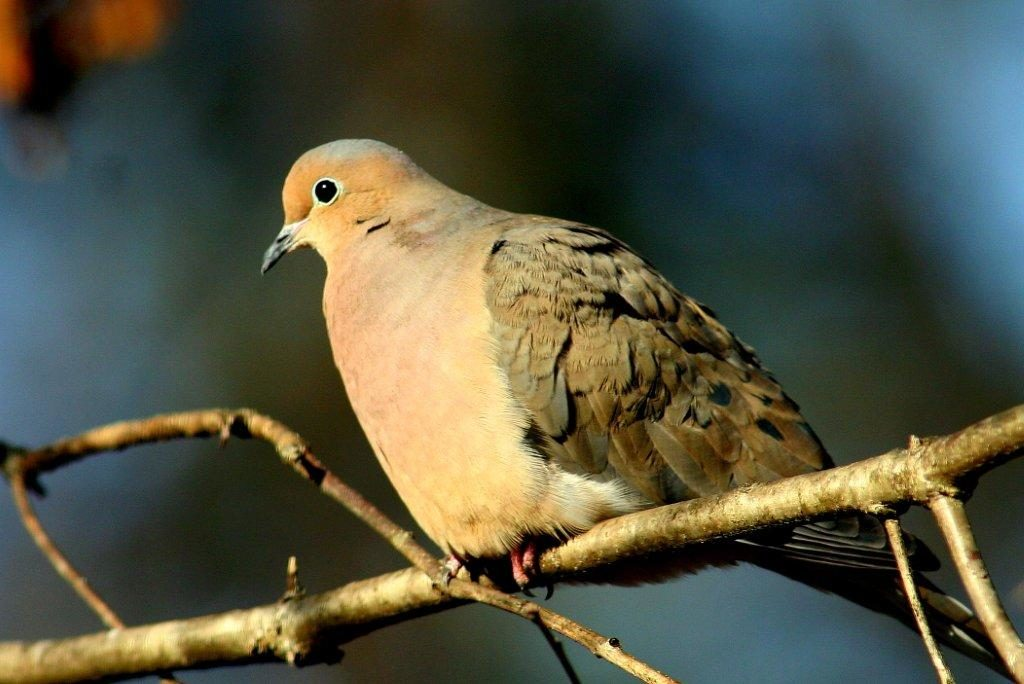 Mourning Dove <br/>Credit: Bill Leaning