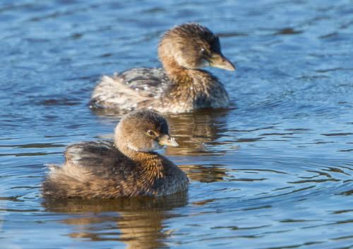 Pied-billed Grebes <br/>Credit: Jeannie Holden