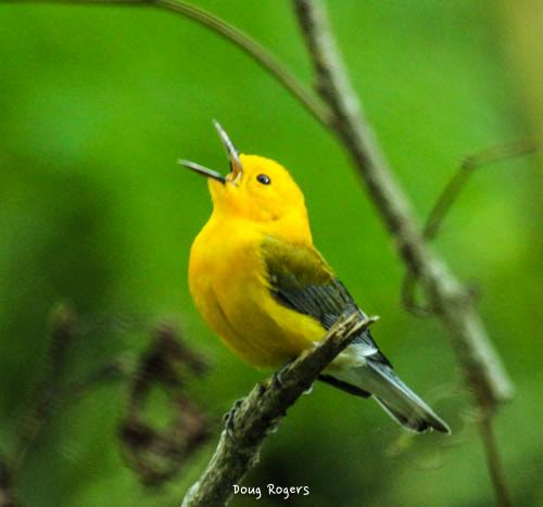 Prothonotary Warbler <br/> Credit: Doug Rogers