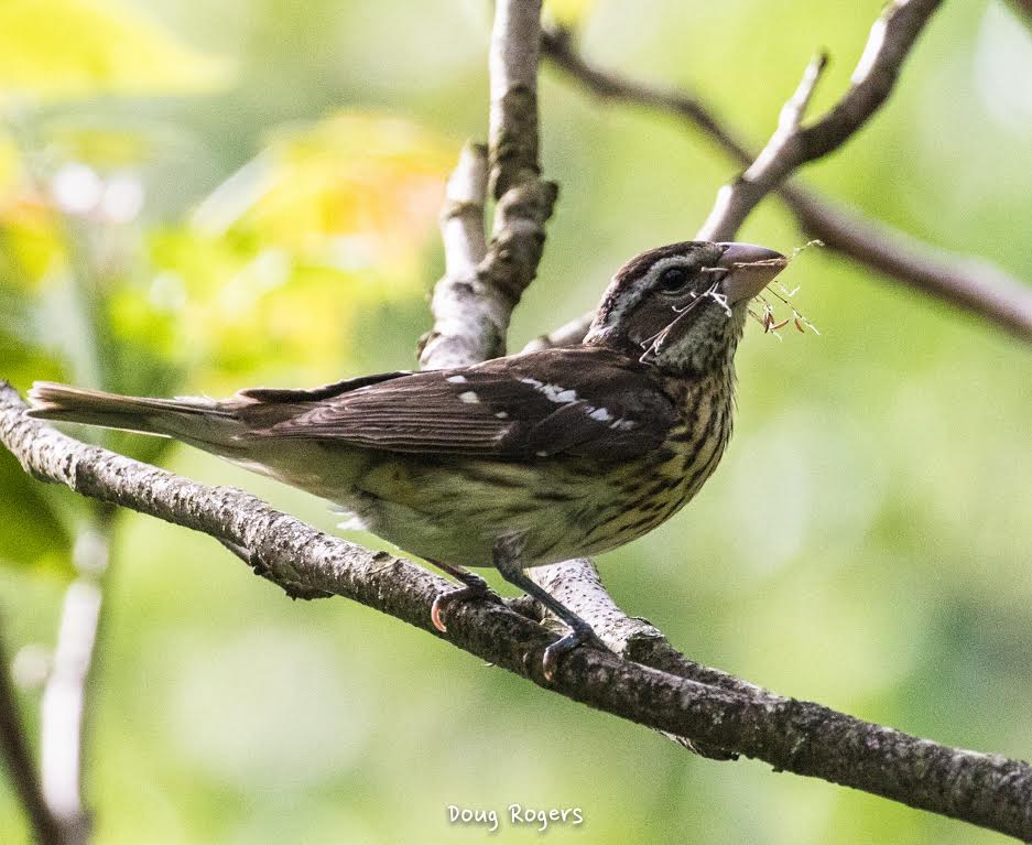 Rose-breasted Grosbeak <br/>Credit: Doug Rogers