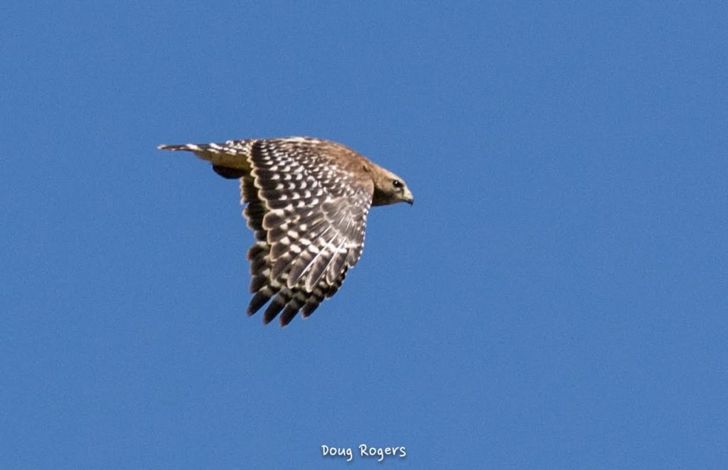 Red-shouldered Hawk <br/>Credit: Doug Rogers