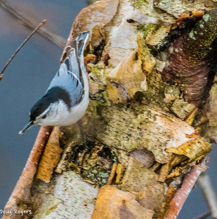 White-breasted Nuthatch <br/>Credit: Doug Rogers