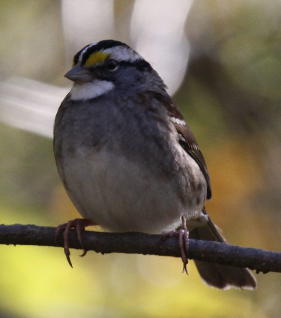 White-throated Sparrow <br/>Credit: Doug Rogers