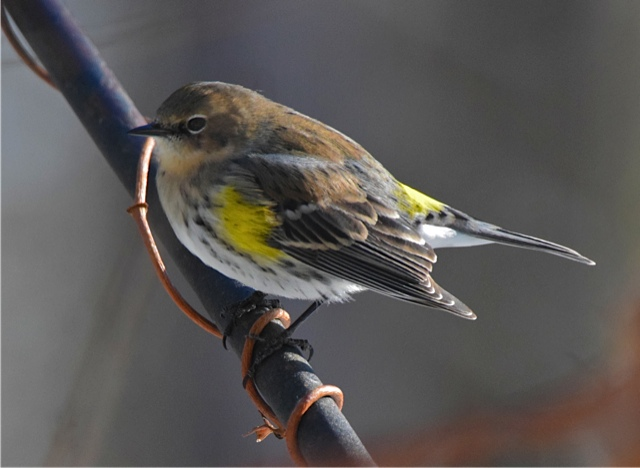 Yellow-rumped Warbler <br/>Credit: Eve Gaige