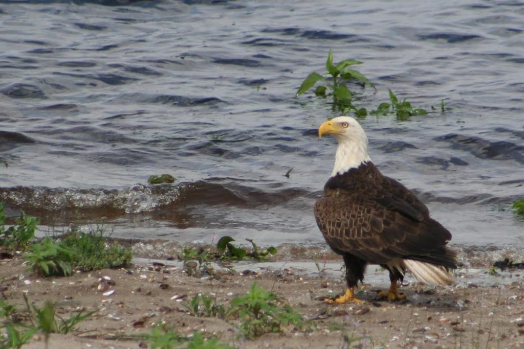 Bald Eagle <br/>Credit: JoAnn Dalley