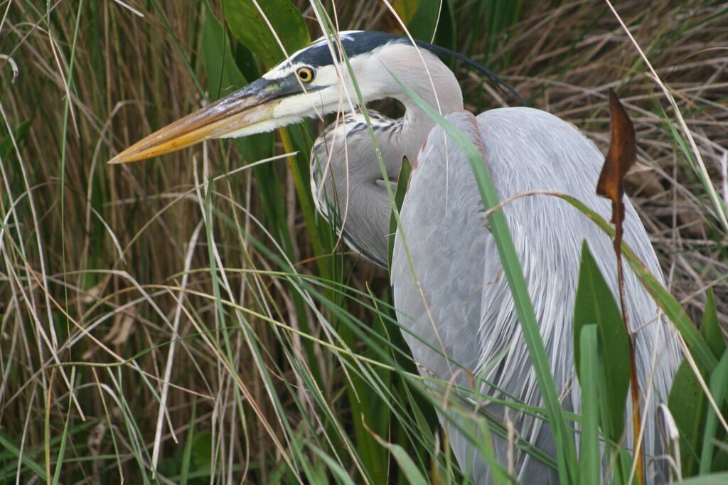 Great Blue Heron <br/>Credit: JoAnn Dalley