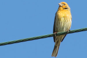 House Finch of a Different Feather