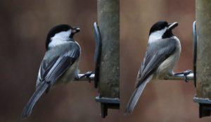 Check Out Those Chickadees