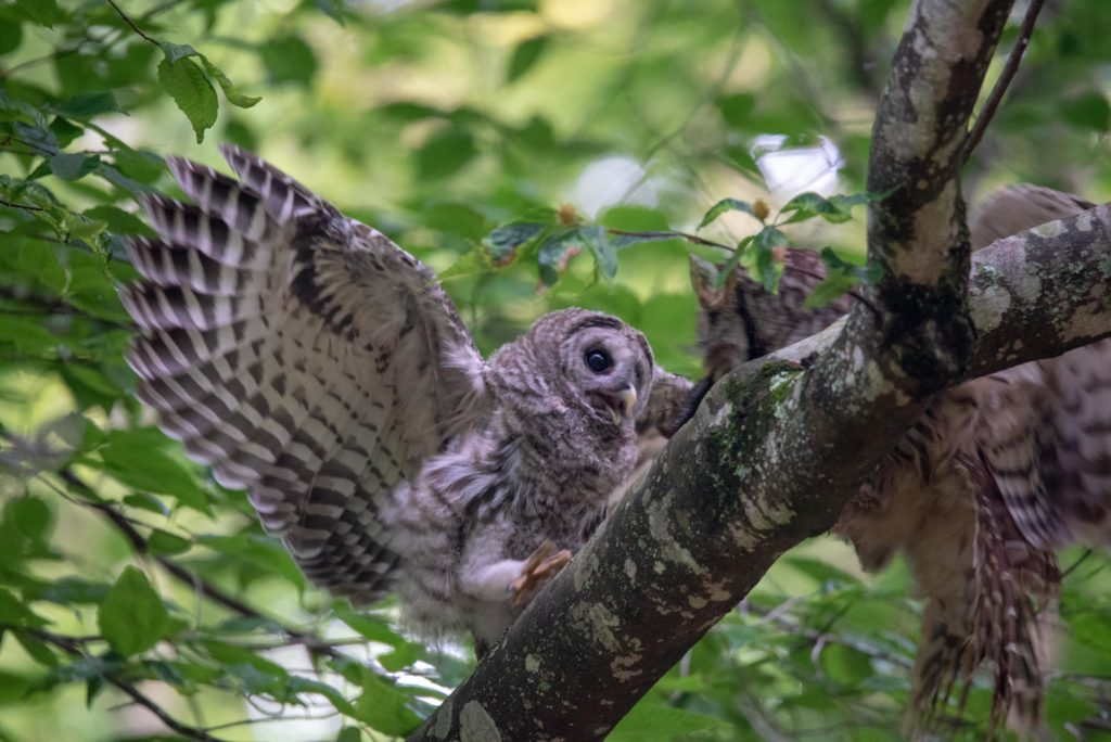 Barred Owl <br/>Credit: Greg Goodson